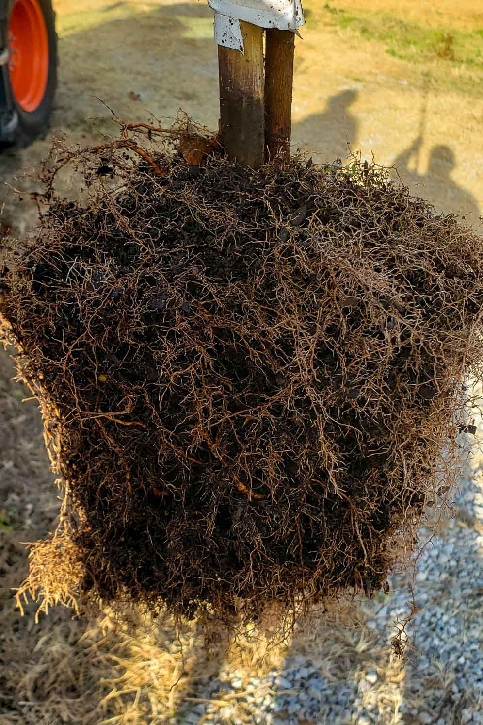 Image of roots developed through RediRoot air pruning pots