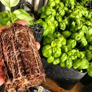 Basil Grown using Aeration Propagation