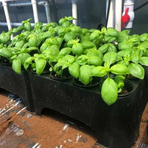 Basil grown in RediRoot reusable aeration propagation systemawaiting transplant