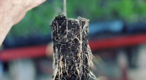 Example of a plant propagated in RediRoot Aeration Propagation