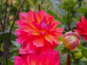 Dahlias are an example of a plant grown from bulbs