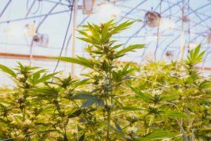 Lifestyle Farms Tier 2 Recreactional Cannabis